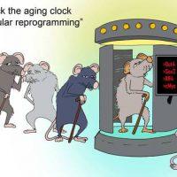 L'invecchiamento è reversibile, fatti ringiovanire topi anziani