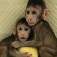 """La Stampa: """"Zhong Zhong e Hua Hua, prime scimmie clonate con la tecnica della pecora Dolly"""""""