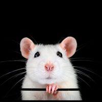 """LeScienze: 'I """"super topi"""" che vedono nell'infrarosso vicino'"""