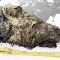 La testa di un lupo gigante del Pleistocene