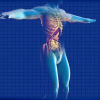"""ANSA: """"Trovato il 'software' genetico che modella gli organi"""""""