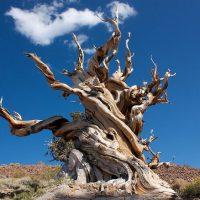 """Ansa: """"Dall'albero Matusalemme il freno dell'invecchiamento"""""""