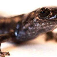 Sorpresa: c'è una salamandra in noi. La cartilagine umana si auto-rigenera